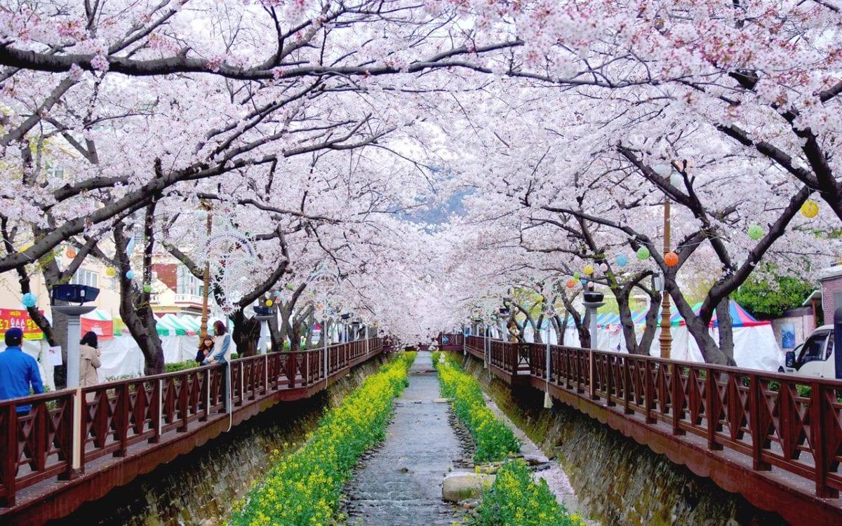 Jinhae-Cherry-Blossom-Festival-(2)