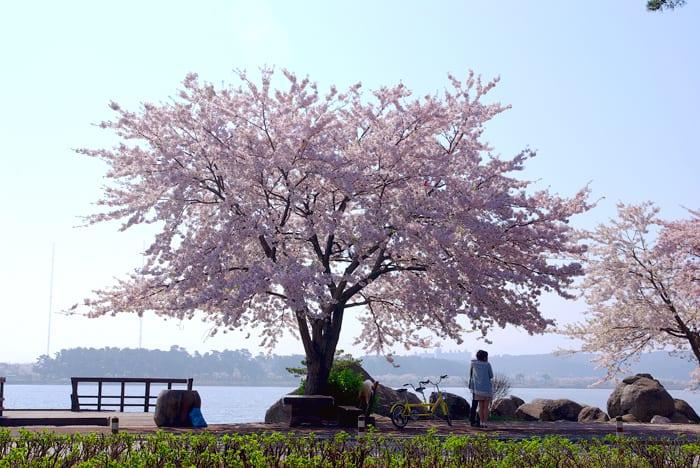 [Wanderlust Wednesday] Spring Guide 2017 | Part 2. Best Cherry Blossom Festivals in Korea