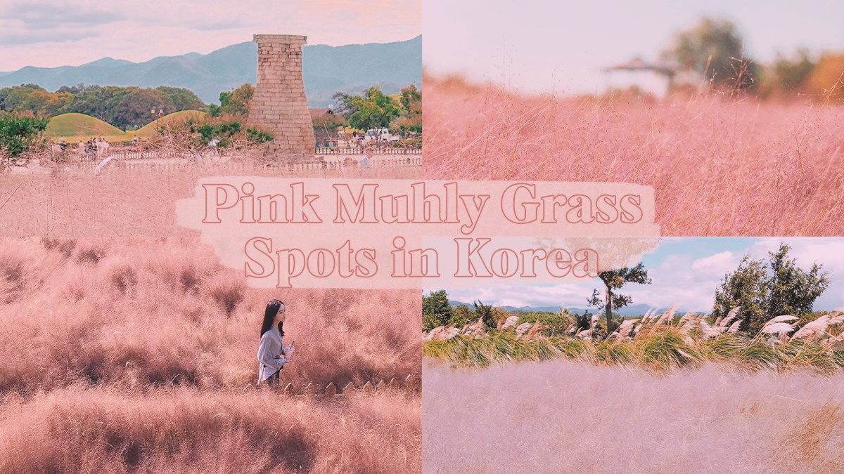 5 cities to catch Pink Muhly Grass in Korea this autumn